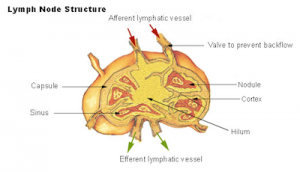 vancouver-manual-lymphatic-drainage-lymph-node-structure